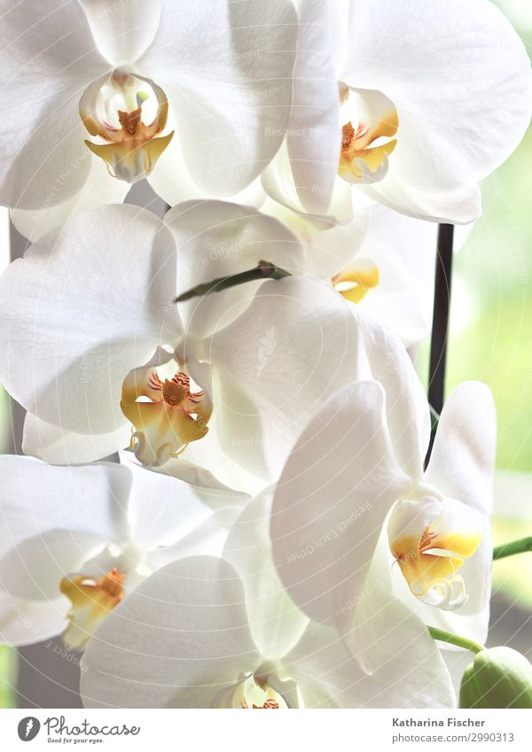 Orchideen in weiß Natur Pflanze Frühling Sommer Herbst Winter Blume Blatt Blüte exotisch Blühend leuchten gelb orange Wachstum Orchideenblüte Farbfoto