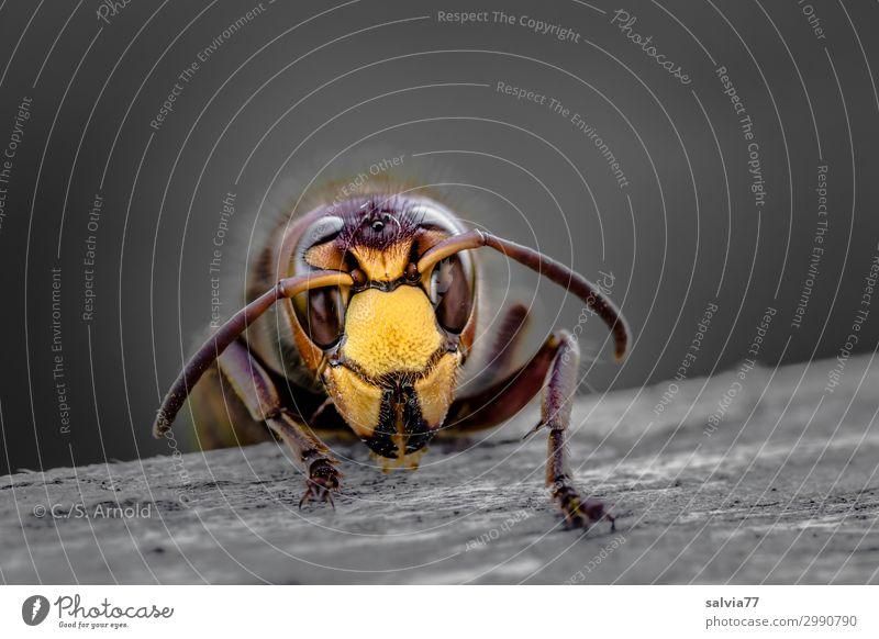 Hornisse Umwelt Natur Tier Tiergesicht Wespen Hornissen Insekt Fühler Facettenauge 1 Holz Fressen krabbeln außergewöhnlich bedrohlich Essen nagen Gesicht Kopf