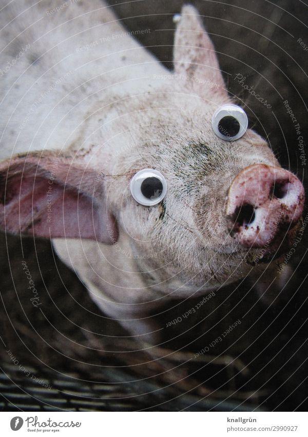 Schweinerei! Tier Nutztier Tiergesicht 1 Kinderaugen beobachten Kommunizieren Blick dreckig Neugier rosa schwarz Gefühle Mitgefühl Appetit & Hunger Sau