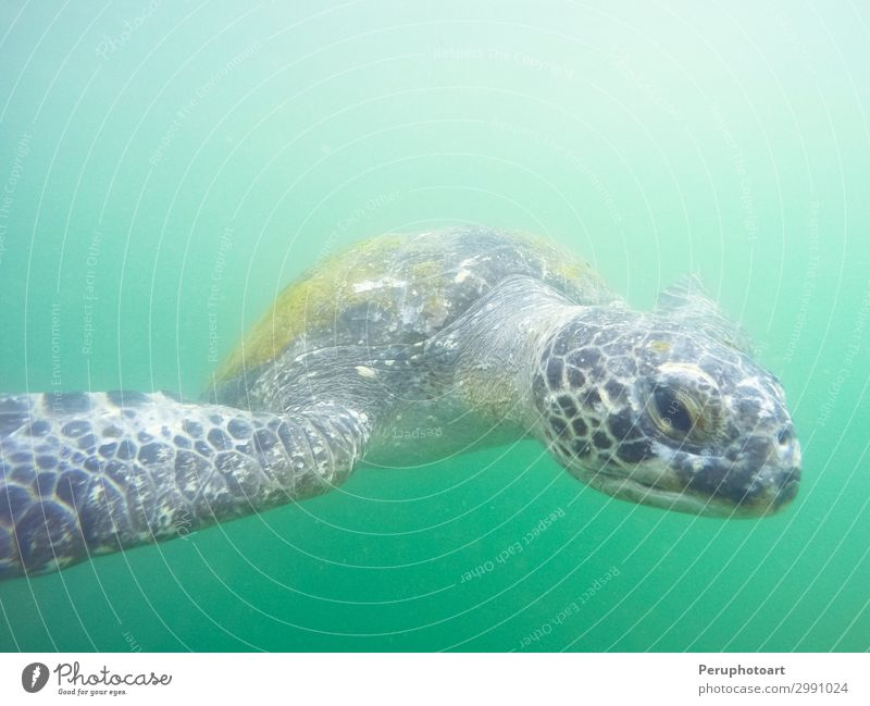 Grüne Schildkröte, die zu dir unter Wasser kommt. schön Leben Meer Insel Umwelt Natur Tier natürlich niedlich wild blau grün Farbe marin aquatisch Korallen