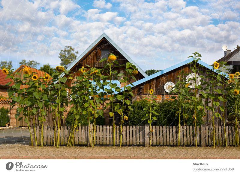 Sonnenblumen vor einem Haus Natur Sommer Pflanze blau weiß Wolken Wärme gelb Umwelt Garten Schönes Wetter Dorf Zaun Stadtrand