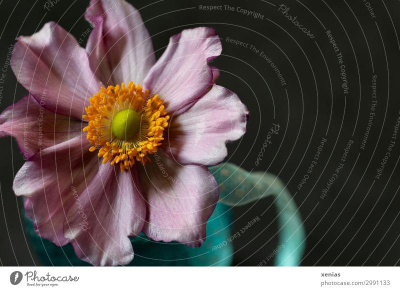 Anemone in blauer Vase Natur Blume Blüte Anemonen schön weich orange rosa schwarz Schnur Geschenkband Farbfoto Studioaufnahme Nahaufnahme Detailaufnahme