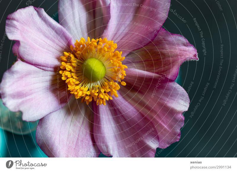 Anemone in rosa Frühling Sommer Herbst Blume Blüte Anemonen schön weich blau gelb orange zart Farbfoto Studioaufnahme Nahaufnahme Detailaufnahme Menschenleer