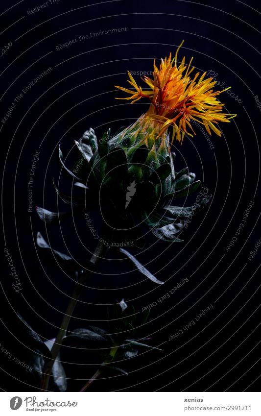 Färberdistel vor schwarzem Hintergrund Distel Blume Blüte Korbblütengewächs Gesundheit orange Korbblütler stachelig Studioaufnahme Nahaufnahme Detailaufnahme