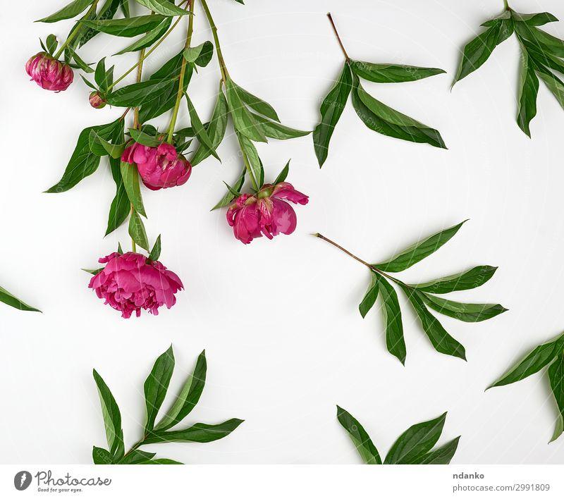 rot blühende Pfingstrosen mit grünen Blättern Design schön Sommer Dekoration & Verzierung Feste & Feiern Hochzeit Natur Pflanze Blume Blatt Blüte Blumenstrauß