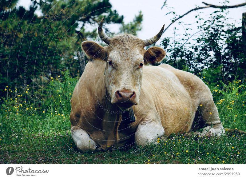 braunes Kuhporträt auf dem Bauernhof in der Natur Hörner Porträt Tier wild Kopf Auge Ohr Behaarung niedlich Beautyfotografie elegant ländlich Wiese