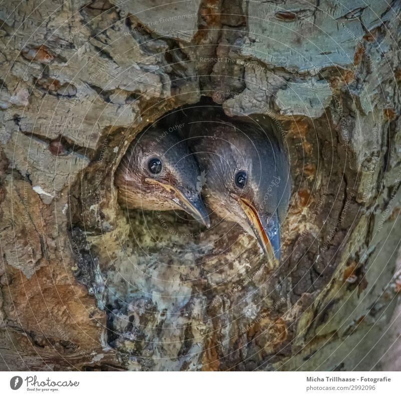Junge Stare schauen aus der Höhle Natur Tier Sonnenlicht Schönes Wetter Baum Baumstamm Wildtier Vogel Tiergesicht Kopf Schnabel Auge Feder gefiedert Küken