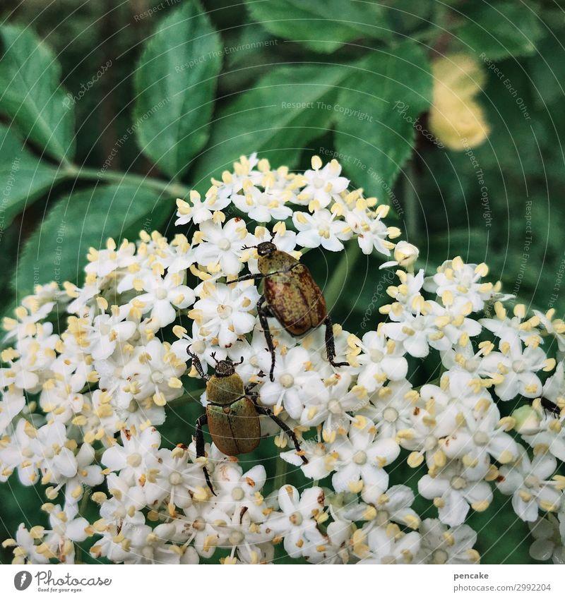 schlaraffenland Natur Pflanze Blatt Blüte Wildpflanze Wald Käfer Blühend entdecken Fressen krabbeln schaukeln Sommer junikäfer Holunderblüte Farbfoto