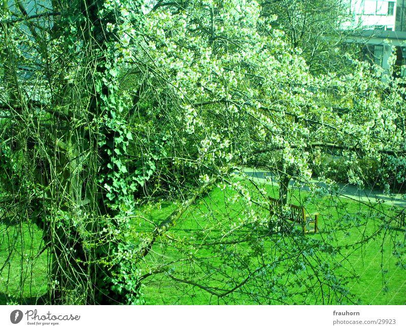 frühlingsblüte Frühling Blüte Baum Efeu Baumstamm Garten