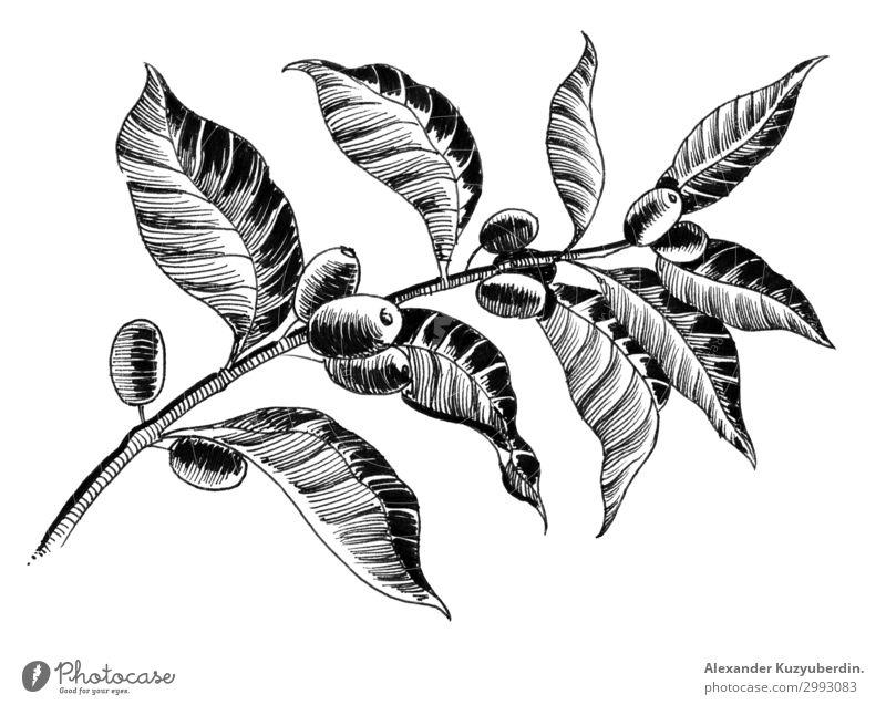 Kaffeebaum Lebensmittel Frühstück Getränk trinken Latte Macchiato Lifestyle Pflanze Baum exotisch Holz Klima Ast Feldfrüchte Schwarzweißfoto
