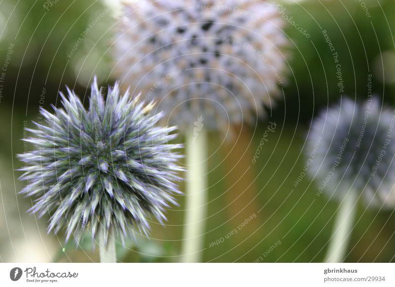 Blaue Stacheln Blume blau Garten Botanik Dorn Zacken Distel