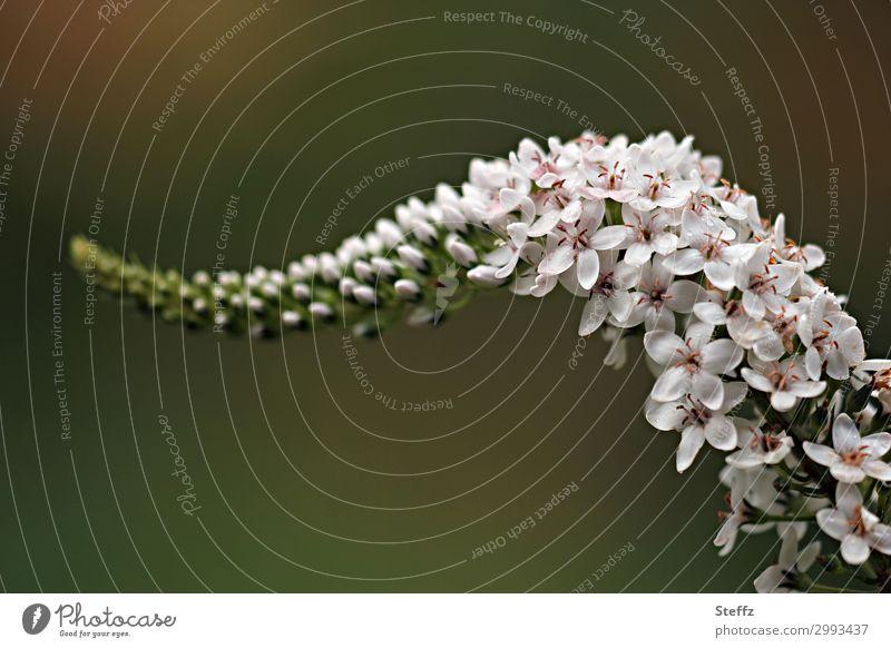 Entenschnabel-Felberich Umwelt Natur Pflanze Sommer Blume Blüte Stauden Lysimachia Gartenpflanzen Blütenstauden Blühend natürlich schön grün weiß elegant