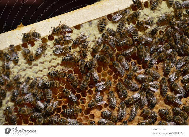fleißige Bienchen Natur Nutztier Biene bauen viele braun gelb Leidenschaft gewissenhaft Ausdauer Ordnungsliebe Arbeiter Carnica Honigbiene Bienenwaben Wabe