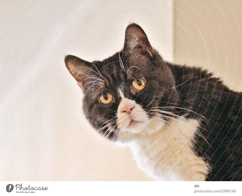 Hi there! Tier Haustier Katze Tiergesicht 1 Blick niedlich braun schwarz weiß Farbfoto Innenaufnahme Menschenleer Hintergrund neutral Tierporträt
