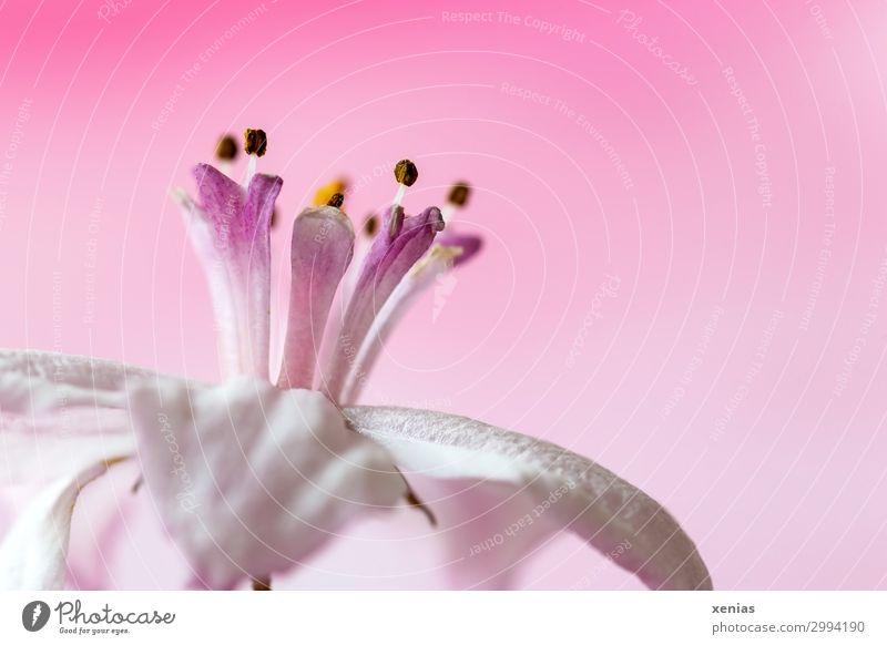 rosa Krönchen Natur weiß Blume Blüte Frühling weich Krone