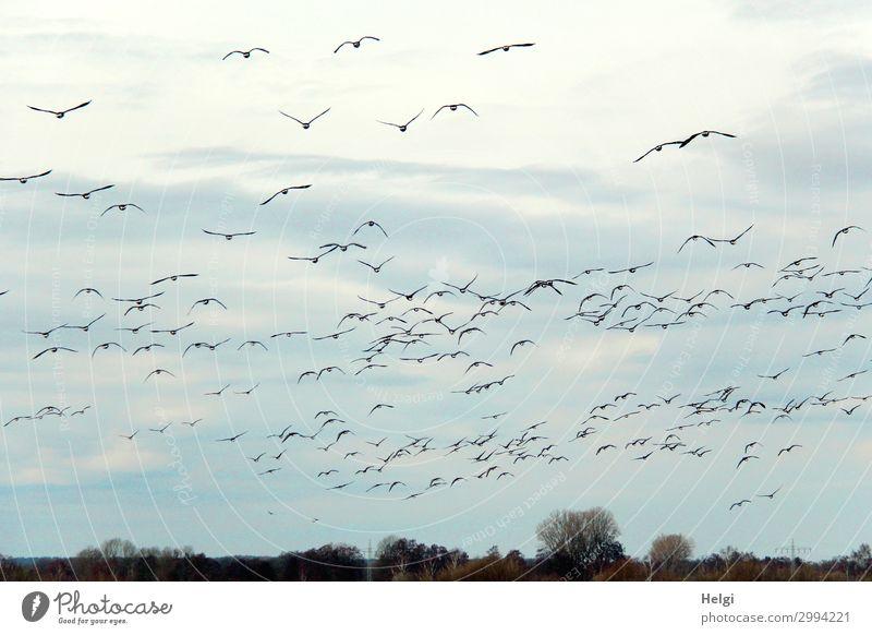 ein Vogelschwarm fliegt vor bewölktem Himmel Umwelt Natur Landschaft Pflanze Tier nur Himmel Frühling Baum Feld Schwarm Bewegung fliegen authentisch