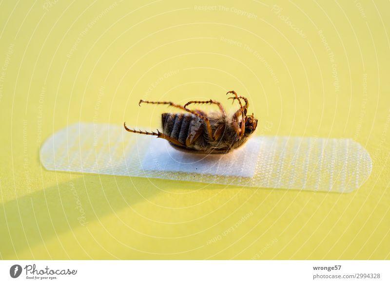 Toter Maikäfer liegt auf einem Pflaster Sommer Tier gelb Blüte Tod braun Wildtier nah Insekt Käfer Querformat Totes Tier