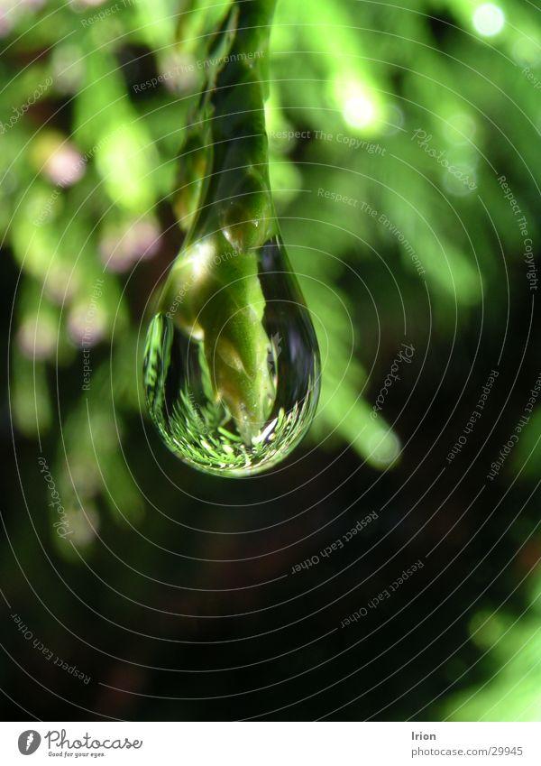 Tropfen am Zweig Wasser Baum grün Frühling Wassertropfen Seil Tanne