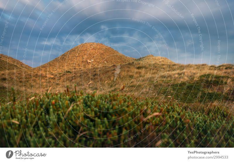 Dünenlandschaft mit Gras und Moos auf der Insel Sylt Erholung ruhig Ferien & Urlaub & Reisen Sommer Natur Landschaft Wiese Hügel grün Farbe Idylle Deutschland