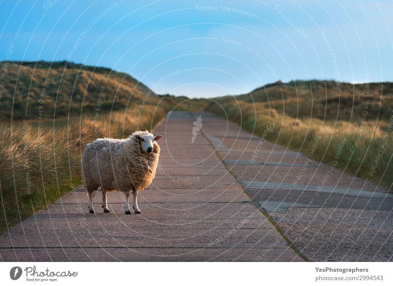 Einzelne Schafe auf einer leeren Straße mit Blick auf die Kamera Ferien & Urlaub & Reisen Sommer Sonne Natur Landschaft Schönes Wetter Gras beobachten lustig