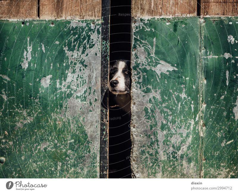 Wächter Tür Tor Tier Haustier Hund Tiergesicht Schnauze Hundeschnauze Haushund 1 beobachten Schutz bewachen Wachsamkeit Beschützer Landleben Farbfoto