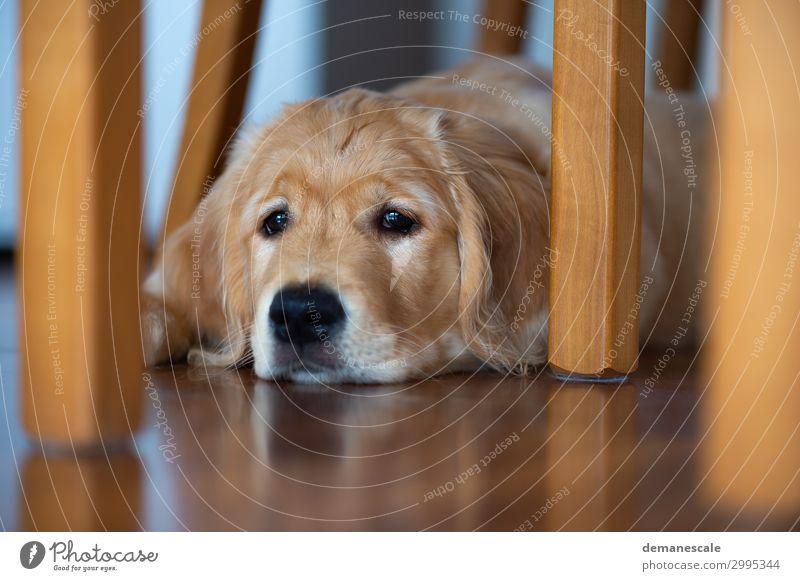 Lieblingsplatz Haustier Hund Tiergesicht Fell 1 Holz beobachten liegen träumen Freundlichkeit Neugier weich braun gold grau schwarz Stimmung Zufriedenheit
