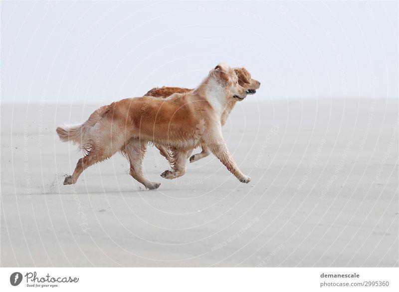 Strandläufer Hund weiß Tier Freude natürlich Glück braun grau Sand Zufriedenheit Tierpaar elegant Fröhlichkeit Lebensfreude authentisch laufen