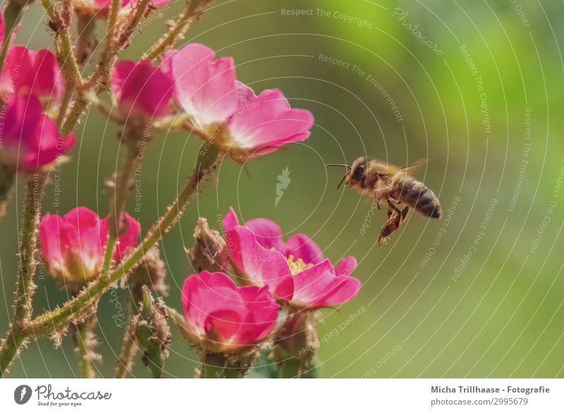 Biene im Anflug auf Blüten Natur Pflanze Tier Sonnenlicht Schönes Wetter Blume Blütenblatt Nutztier Wildtier Tiergesicht Flügel Kopf Auge Fühler Beine Insekt 1