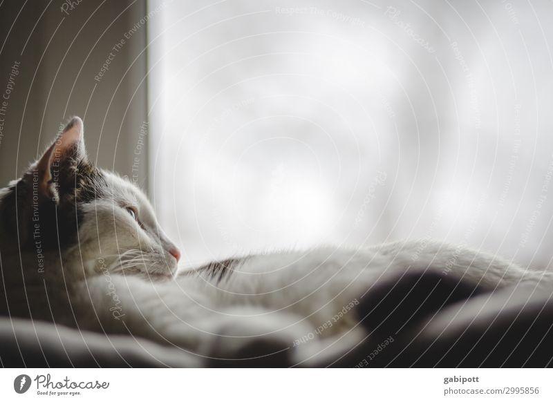 Katze liegt am Fenster Tier Haustier Erholung schlafen Häusliches Leben kuschlig natürlich niedlich Wärme Zufriedenheit Idylle Langeweile Lebensfreude Tierliebe