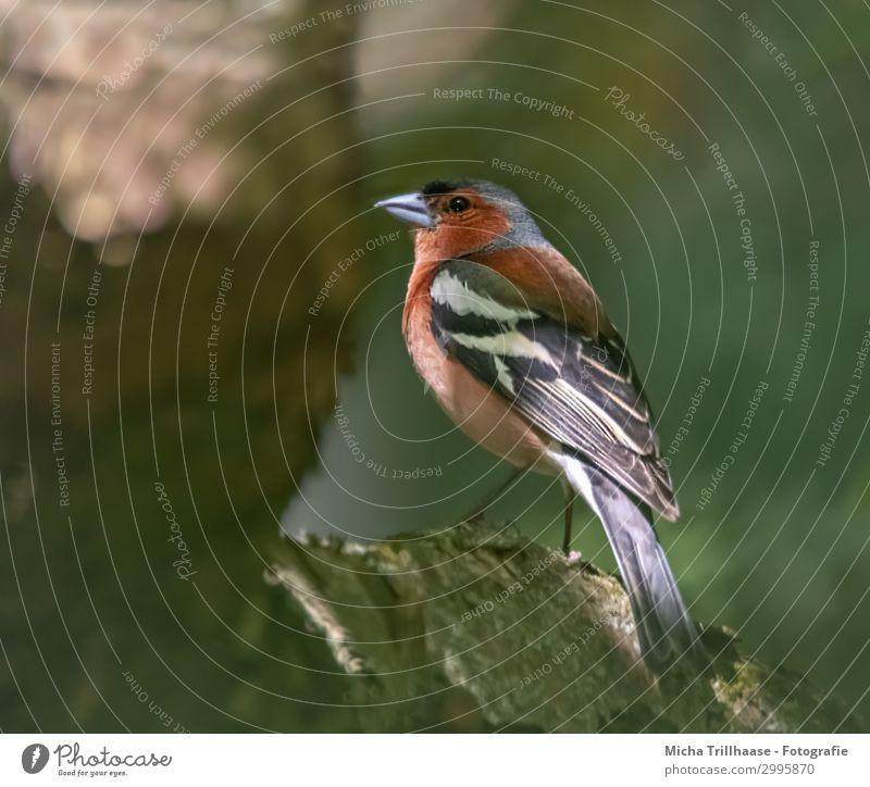 Buchfink genießt die letzten Sonnenstrahlen Natur Tier Sonnenlicht Schönes Wetter Baum Ast Wildtier Vogel Tiergesicht Flügel Krallen Fink Schnabel Auge Feder