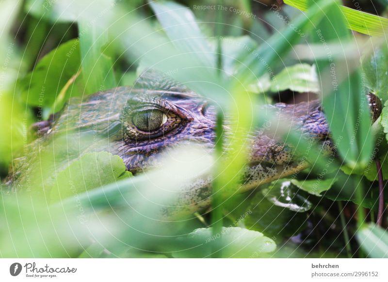 vorsicht, scharf(e) | zähne Ferien & Urlaub & Reisen Tourismus Ausflug Abenteuer Ferne Freiheit Pflanze Blatt Urwald Wildtier Tiergesicht Schuppen Krokodil