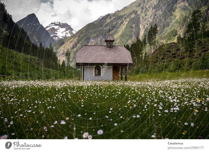 Im Margeritenfeld Natur Landschaft Himmel Wolken Frühling schlechtes Wetter Pflanze Baum Blume Gras Blatt Blüte Fichte Tanne Wiese Alpen Berge u. Gebirge