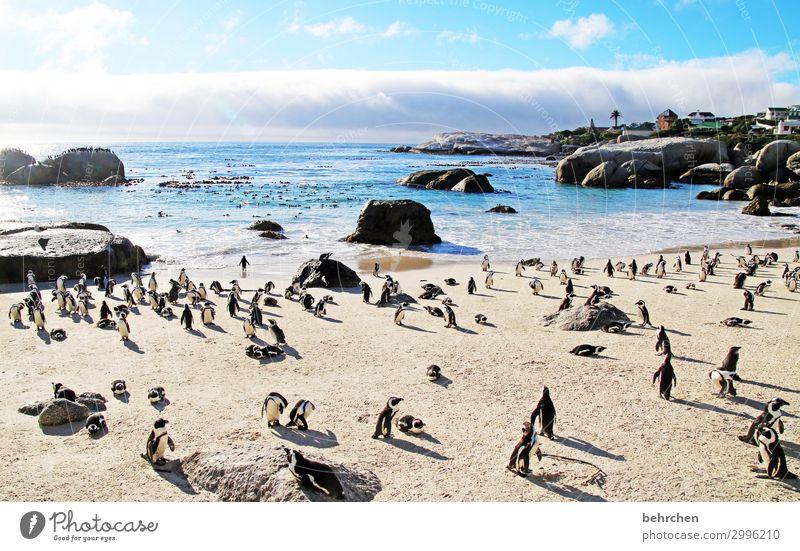 abstand? was isn das? Vogel Boulders Beach exotisch Gegenlicht Wildtier Tier Brillenpinguin Kapstadt Fernweh Pinguin Kontrast Südafrika fantastisch Licht