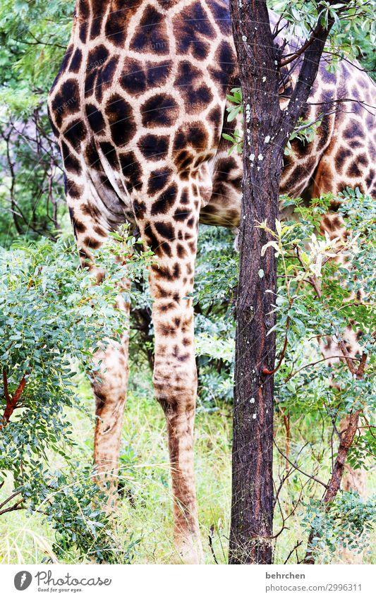 modelbeine Ferien & Urlaub & Reisen Tourismus Ausflug Abenteuer Ferne Freiheit Safari Natur Landschaft Pflanze Baum Blatt Wildtier Fell Giraffe außergewöhnlich