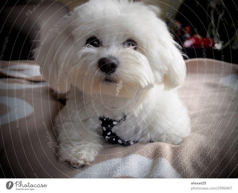 Süßer Bichon-Malteser mit Moosgarnitur Glück schön Natur Tier Haustier Hund Liebe sitzen klein niedlich weiß reizvoll züchten heimisch pelzig Behaarung