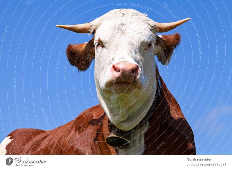 Guckst du .... Natur Sommer blau weiß Tier Gesundheit braun Idylle Perspektive Schönes Wetter beobachten Landwirtschaft Bauernhof Wolkenloser Himmel Kuh Horn