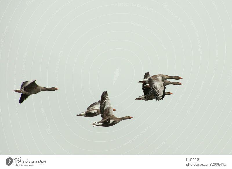 luftig | Gänseflug Wildtier Vogel Flügel Gans Tiergruppe Schwarm blau gelb grau schwarz weiß fliegen Graugans Himmel Feder Fitness Zugvogel Farbfoto