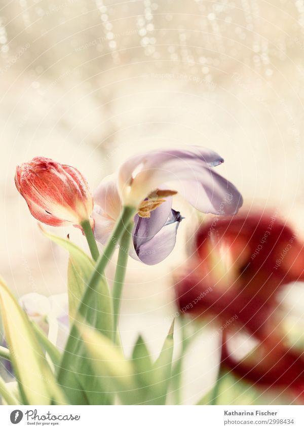 Tulpen Natur Sommer Pflanze grün weiß rot Blatt Winter Herbst Blüte Frühling rosa Blühend violett türkis