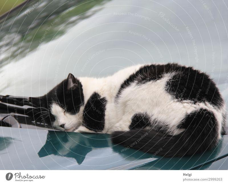 hingekuschelt ... Katze weiß Tier Einsamkeit ruhig schwarz Leben Herbst außergewöhnlich Freiheit grau Zufriedenheit PKW liegen authentisch einzigartig