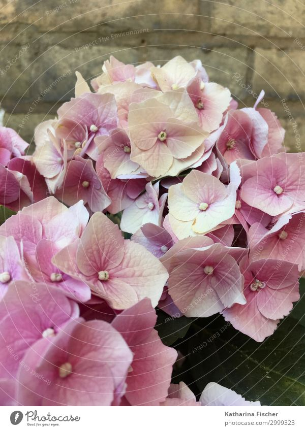 Hortensien Natur Pflanze Frühling Sommer Herbst Blume Blatt Blüte Blumenstrauß Blühend rosa weiß Hortensienblüte Hortensienblätter Farbfoto Außenaufnahme