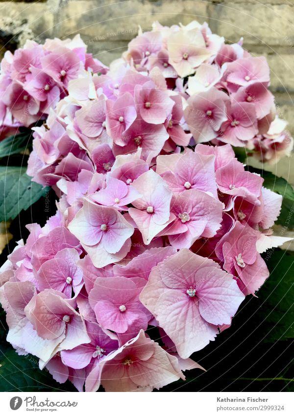 Hortensien Natur Pflanze Frühling Sommer Herbst Blume Sträucher Blatt Blüte Blumenstrauß Blühend schön rosa Hortensienblüte Hortensienblätter Farbfoto