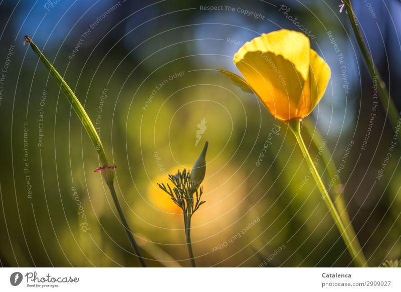Wieder Mohn Natur Pflanze Himmel Sommer Blume Blatt Blüte Mohnkapsel Mohnblüte Gelber Mohn Garten Wiese Blühend verblüht schön blau gelb grün orange Stimmung