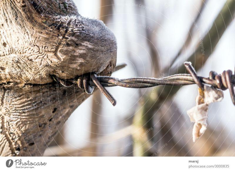 Der Stacheldrahtfresser Holz Metall Spitze verschlingen zurückerobern Stacheldrahtzaun Rost verschwunden gefährlich Verletzungsgefahr verwittert Frost gefroren