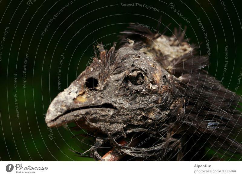 Tierportrait (Tut Ench Amhuhn) Nutztier Vogel Tiergesicht Haushuhn Sicherheit Tierliebe Leben Angst Entsetzen Todesangst Zukunftsangst gefährlich Verzweiflung