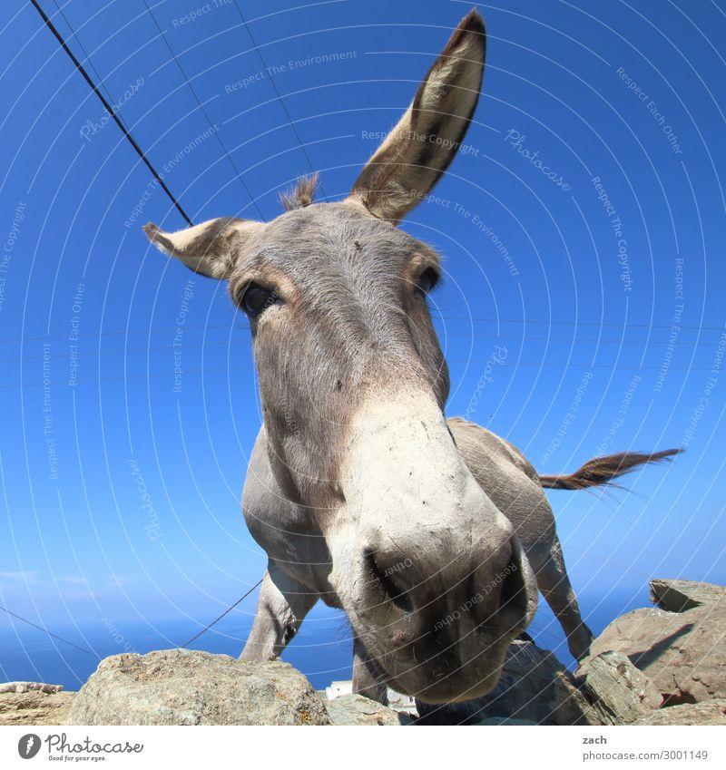 Wasn? Himmel Sommer Hügel Meer Ägäis Mittelmeer Insel Kykladen Folegandros Tier Nutztier Tiergesicht Esel 1 Fröhlichkeit blau Freude lustig Griechenland