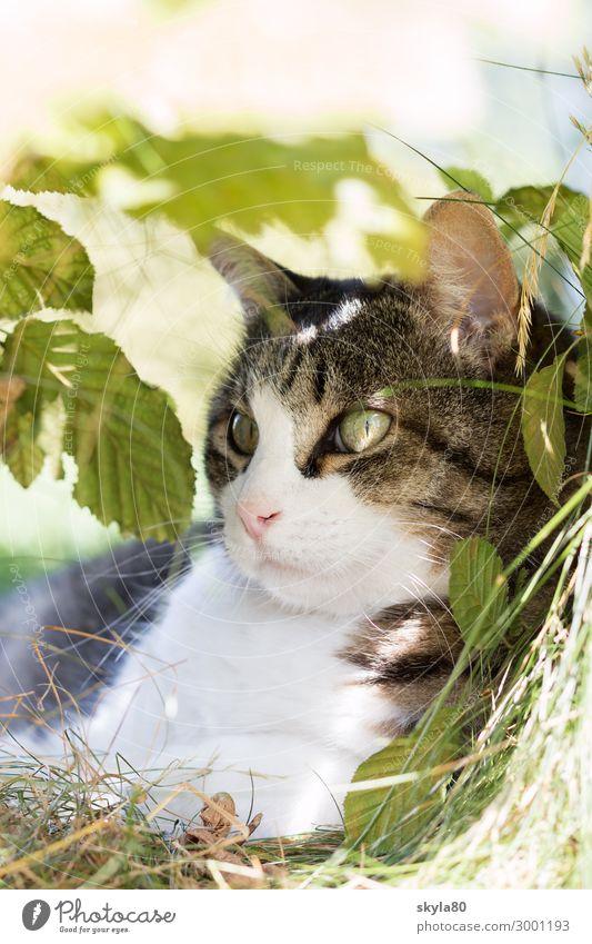 Aufmerksam Katze Hauskatze Tier Haustier Tiergesicht Fell beobachten liegen elegant Freundlichkeit natürlich Zufriedenheit Frühlingsgefühle Tierliebe schön