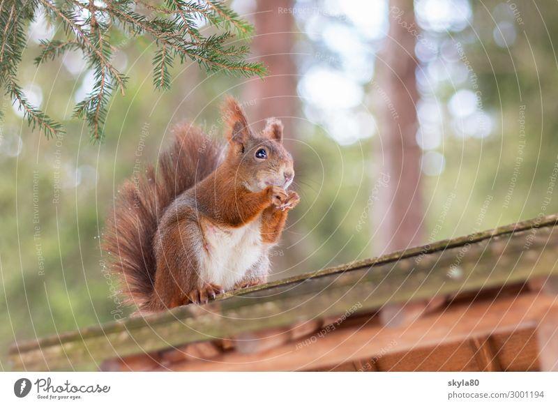 Knabberspass Natur Tier Wald Dach Wildtier Fell 1 Essen Fressen füttern genießen hocken Blick sitzen frei Fröhlichkeit Gesundheit niedlich Zufriedenheit