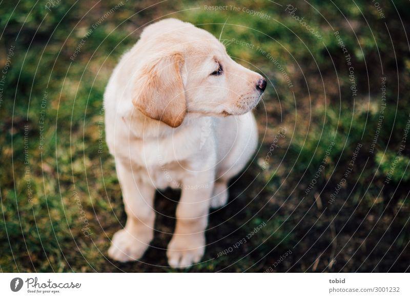 Sitzender Labrador Retriever Wiese Tier Haustier Hund Tiergesicht Fell 1 beobachten sitzen Welpe Tierjunges Farbfoto Außenaufnahme Nahaufnahme Tierporträt