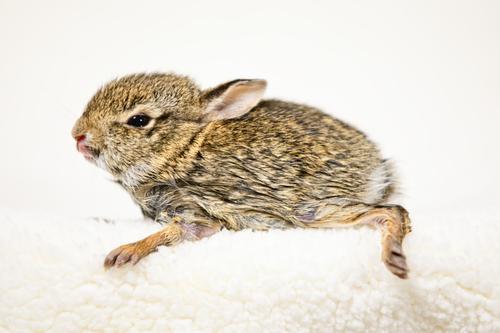 Nahaufnahme eines süßen und flauschigen Baby-Häschens Ostern Kunst Natur Tier Haustier sitzen klein niedlich weich braun weiß Farbe Hase & Kaninchen vereinzelt