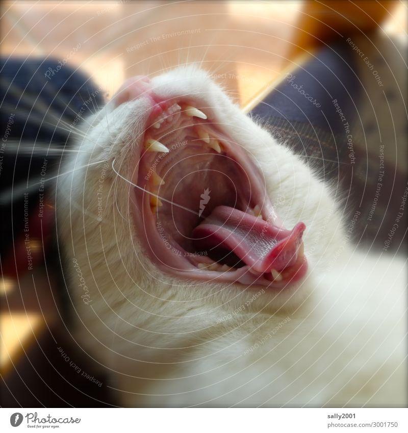 gäääähn... Tier Haustier Katze Tiergesicht Zunge Gebiss 1 frech niedlich weich Zufriedenheit Kraft Geborgenheit Müdigkeit Erholung Langeweile Pause gähnen
